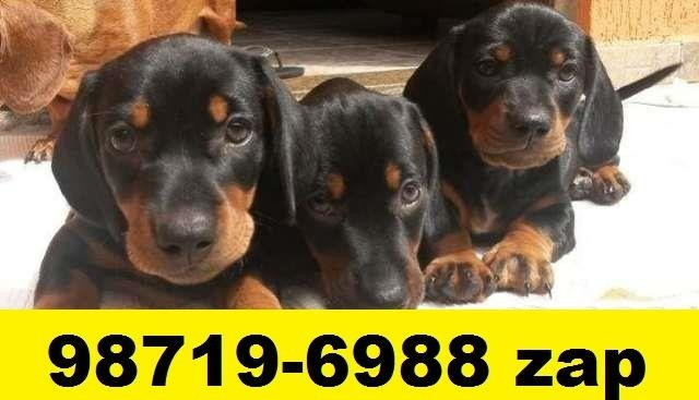 Canil Filhotes Cães Alto Nível BH Basset Lhasa Maltês Shihtzu Poodle Yorkshire