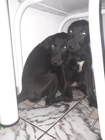 Vendo filhotes de Labrador puro
