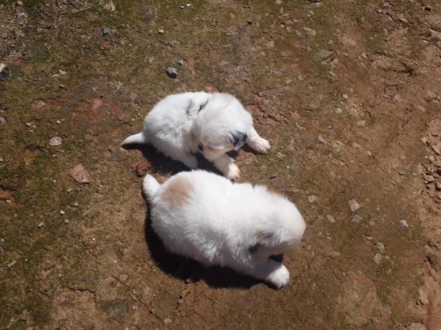 Filhotes de shitzu - Foto 6