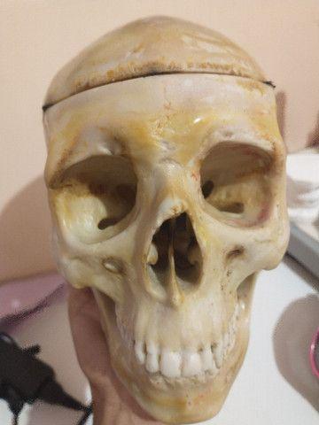 Vendo crânio anatômico