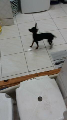 Filhote de cachorro Pincher
