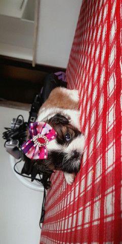 Última femea de shitzu disponível  - Foto 2