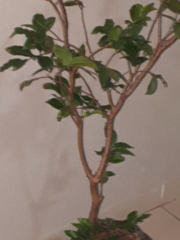 Mudas fruteiras a partir de 15 reais. otima jabuticabeira:R$40 - Foto 2