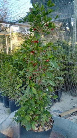 Planta do milagre (Fruta do Milagre) - Foto 2