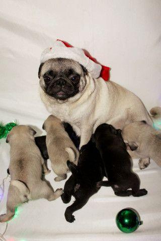 Filhos de Pug machos  - Foto 6