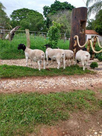Reprodutor Dorper, Borregas e Ovelhas