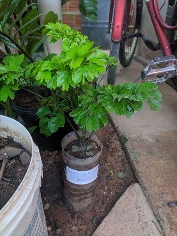 Planta: árvore da felicidade - macho