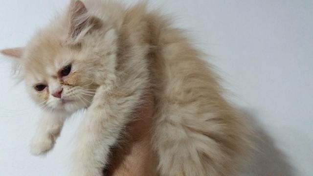Filhotinhos de gato Persa EM 10X NO CARTÃO - Foto 2