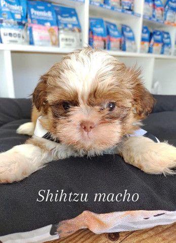 Shih tzu macho a pronta entrega ou retirada na loja  - Foto 2
