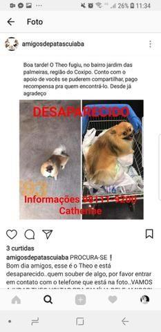 Cachorro desaparecido spitz alemão