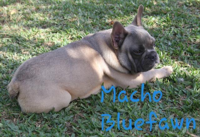 Machinho de Bulldog Francês 10 x sem juros