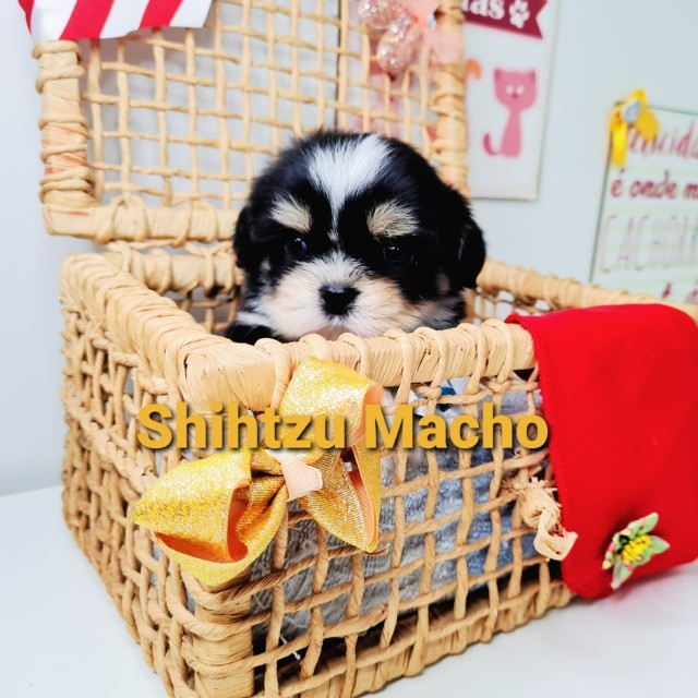 Shihtzu macho ha pronta entrega venha conferir - Foto 2