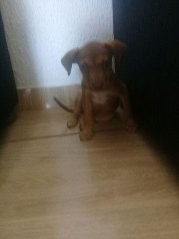 Cachorro pitbul com vira lata - Foto 2