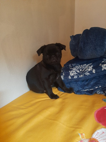 Pug Black filhote - Foto 3