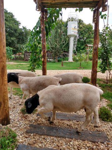 Reprodutor Dorper, Borregas e Ovelhas - Foto 2