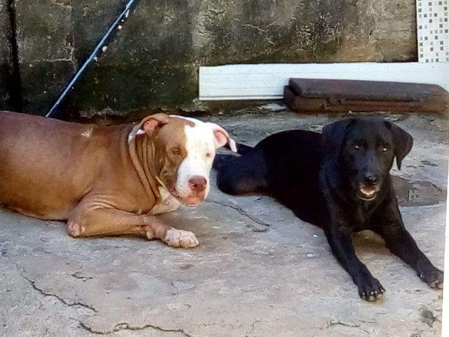 Filhotes de Pitbull com labrador - Foto 2