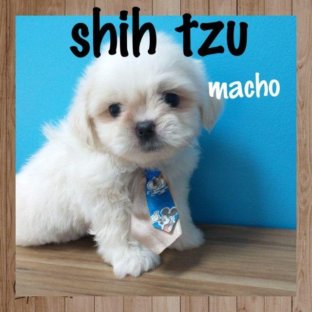 Shihtzu macho na promoção venha conferir - Foto 2