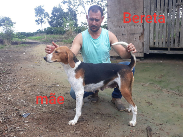 Foxhound americano filhotes - Foto 4