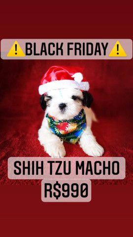 Black Friday!+belo Shih Tzu macho R$990 - Foto 3