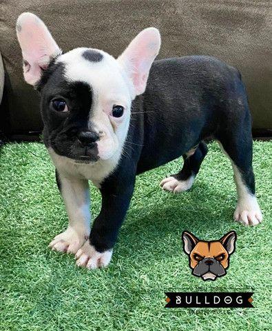 Bulldog francês macho Branco/Tigrado - Foto 5