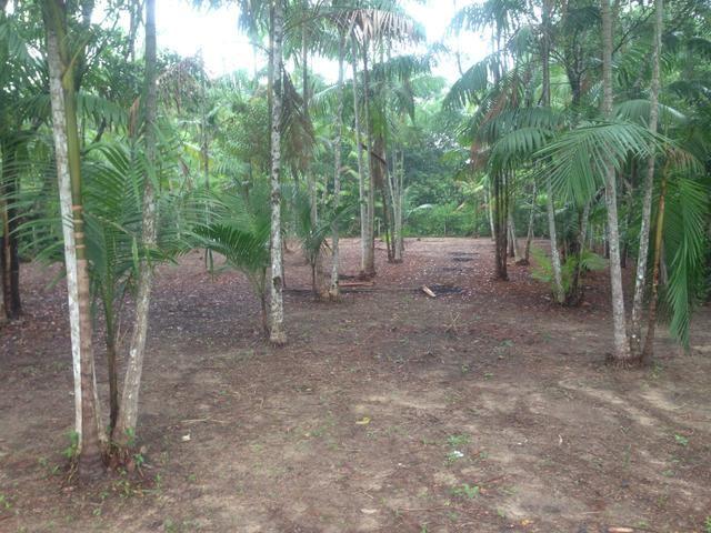 Terreno com plantação de açaí