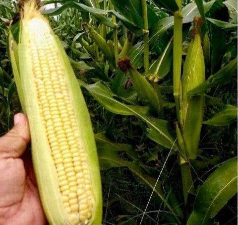 Sementes de milho transgênico híbrido 18 kg - Foto 3