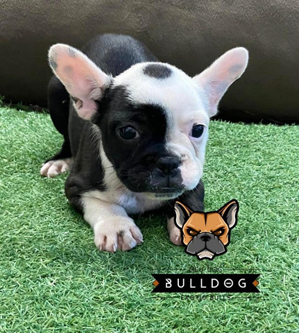 Bulldog francês macho Branco/Tigrado