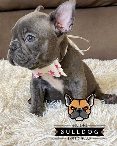 Bulldog francês fêmea Blue sólida