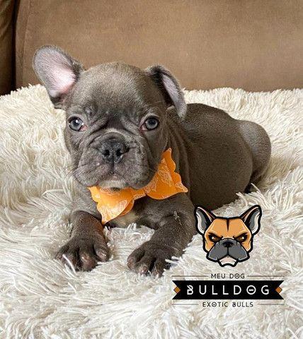 Bulldog francês fêmea Blue - Foto 2