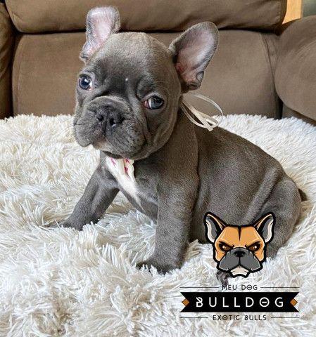 Bulldog francês fêmea Blue sólida - Foto 3