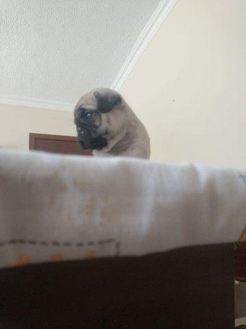 Vendo esse lindo filhote Pug macho - Foto 3