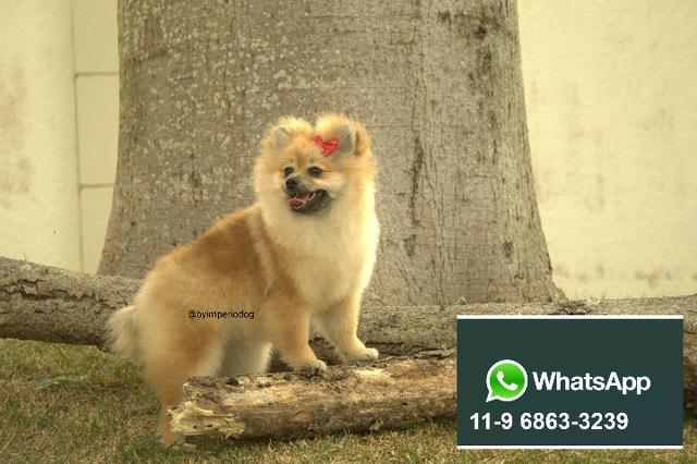 Lulu da Pomerania Filhote
