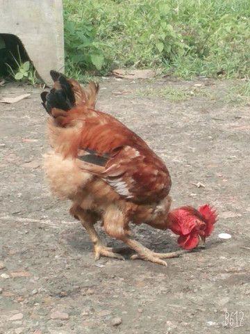 Vendo galinha de capoeira - Foto 4