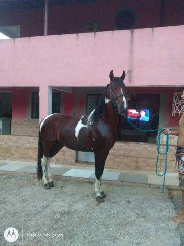Cavalo mangalarga. ...