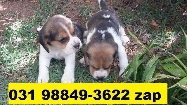 Canil Filhotes Premium Cães BH Beagle Maltês Poodle Yorkshire Lhasa Shihtzu Pug