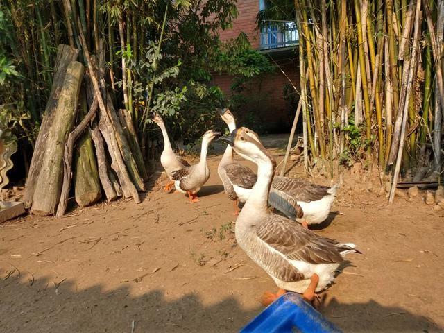 Filhote de ganso sinaleiro - Foto 3