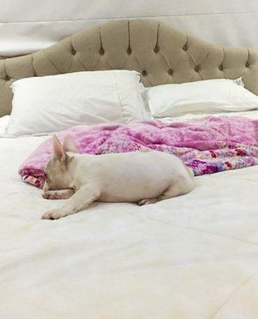 Legítimo filhotes de buldogues Branco - Foto 4