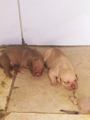 Filhotes de American Pitbull Terrier - Foto 3