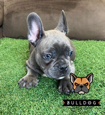 Bulldog francês Blue macho