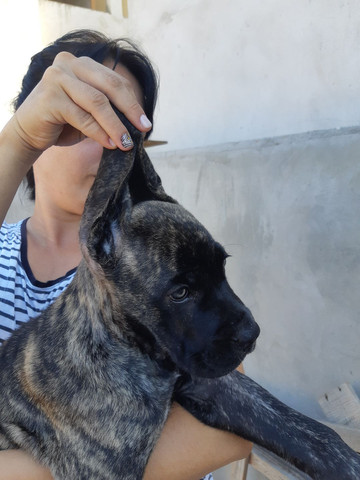 Excelentes filhotes de Cane Corso disponíveis! - Foto 2