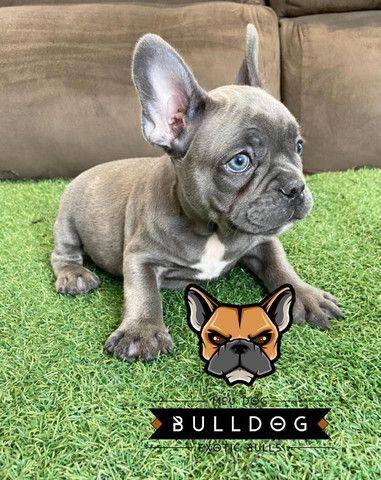 Bulldog francês Blue macho - Foto 3