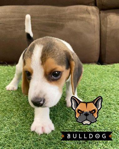 Beagle Macho Tricolor - Foto 2
