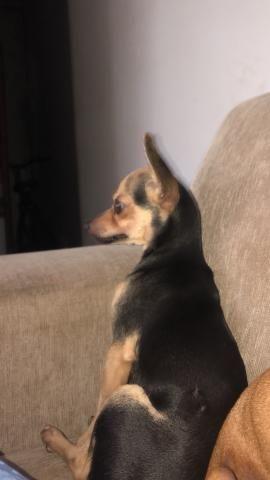 Cachorro Pincher - Foto 3