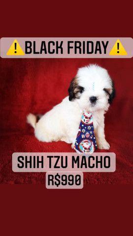 Black Friday!+belo Shih Tzu macho R$990 - Foto 5