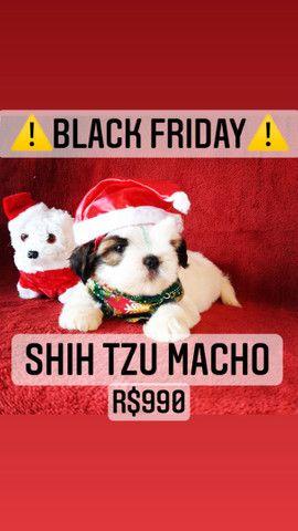 Black Friday!+belo Shih Tzu macho R$990