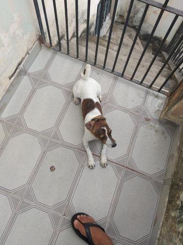 Filhote de cachorro raça pinscher - Foto 2