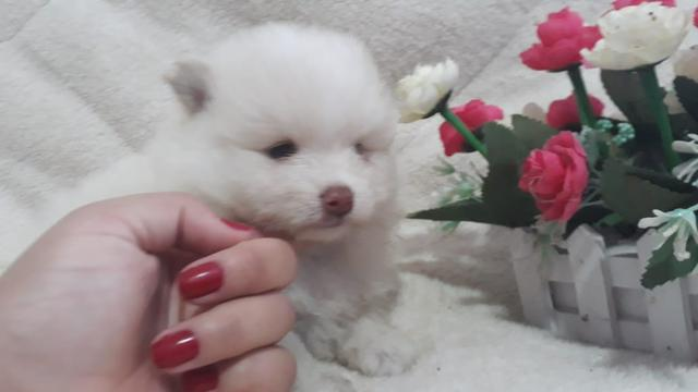 Machinho Raro de Spitz Tricolor de Chocolate - Foto 4
