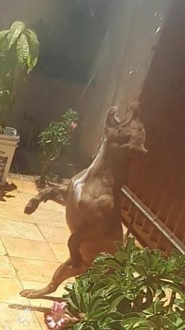 Pit Bull Macho muito dócil Tigrado 5 meses - Foto 3