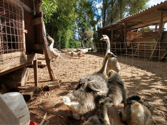 Filhote de ganso sinaleiro