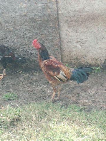 Vendo galinha de capoeira - Foto 2